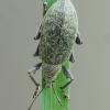Dilgėlinis lapinukas - Phyllobius pomaceus | Fotografijos autorius : Vidas Brazauskas | © Macrogamta.lt | Šis tinklapis priklauso bendruomenei kuri domisi makro fotografija ir fotografuoja gyvąjį makro pasaulį.