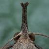 Dilgėlinis sprindinis naktinukas - Hypena proboscidalis | Fotografijos autorius : Žilvinas Pūtys | © Macrogamta.lt | Šis tinklapis priklauso bendruomenei kuri domisi makro fotografija ir fotografuoja gyvąjį makro pasaulį.