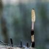 Dirvinis asiūklis - Equisetum arvense | Fotografijos autorius : Kazimieras Martinaitis | © Macrogamta.lt | Šis tinklapis priklauso bendruomenei kuri domisi makro fotografija ir fotografuoja gyvąjį makro pasaulį.