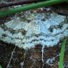 Mėlyninis žievėsprindis - Ectropis crepuscularia | Fotografijos autorius : Ramunė Vakarė | © Macrogamta.lt | Šis tinklapis priklauso bendruomenei kuri domisi makro fotografija ir fotografuoja gyvąjį makro pasaulį.