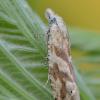 Dryžuotoji tiodija - Thiodia citrana | Fotografijos autorius : Arūnas Eismantas | © Macrogamta.lt | Šis tinklapis priklauso bendruomenei kuri domisi makro fotografija ir fotografuoja gyvąjį makro pasaulį.