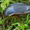 Dusia - Dytiscus dimidiatus ♀ | Fotografijos autorius : Gintautas Steiblys | © Macrogamta.lt | Šis tinklapis priklauso bendruomenei kuri domisi makro fotografija ir fotografuoja gyvąjį makro pasaulį.