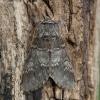 Dvijuostė drimonija - Drymonia ruficornis | Fotografijos autorius : Žilvinas Pūtys | © Macrogamta.lt | Šis tinklapis priklauso bendruomenei kuri domisi makro fotografija ir fotografuoja gyvąjį makro pasaulį.