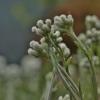 Dvinamė katpėdė - Antennaria dioica | Fotografijos autorius : Kęstutis Obelevičius | © Macrogamta.lt | Šis tinklapis priklauso bendruomenei kuri domisi makro fotografija ir fotografuoja gyvąjį makro pasaulį.