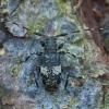 Dvyninis margūnas - Leiopus linnei | Fotografijos autorius : Žilvinas Pūtys | © Macrogamta.lt | Šis tinklapis priklauso bendruomenei kuri domisi makro fotografija ir fotografuoja gyvąjį makro pasaulį.