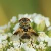 Dygliamusė - Ectophasia crassipennis | Fotografijos autorius : Vidas Brazauskas | © Macrogamta.lt | Šis tinklapis priklauso bendruomenei kuri domisi makro fotografija ir fotografuoja gyvąjį makro pasaulį.