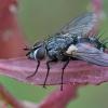 Dygliamusė - Eriothrix rufomaculata | Fotografijos autorius : Gintautas Steiblys | © Macrogamta.lt | Šis tinklapis priklauso bendruomenei kuri domisi makro fotografija ir fotografuoja gyvąjį makro pasaulį.