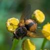 Dygliamusė - Tachina fera | Fotografijos autorius : Oskaras Venckus | © Macrogamta.lt | Šis tinklapis priklauso bendruomenei kuri domisi makro fotografija ir fotografuoja gyvąjį makro pasaulį.
