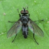 Dygliamusė - Medina cf. multispina ♂ | Fotografijos autorius : Žilvinas Pūtys | © Macrogamta.lt | Šis tinklapis priklauso bendruomenei kuri domisi makro fotografija ir fotografuoja gyvąjį makro pasaulį.