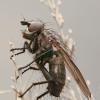Žiedenė - Leucophora sp. | Fotografijos autorius : Gintautas Steiblys | © Macrogamta.lt | Šis tinklapis priklauso bendruomenei kuri domisi makro fotografija ir fotografuoja gyvąjį makro pasaulį.
