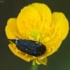 Dygliavabalis - Mordella aculeata | Fotografijos autorius : Žilvinas Pūtys | © Macrogamta.lt | Šis tinklapis priklauso bendruomenei kuri domisi makro fotografija ir fotografuoja gyvąjį makro pasaulį.