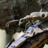 Dygusis ragijus - Rhagium mordax | Fotografijos autorius : Oskaras Venckus | © Macrogamta.lt | Šis tinklapis priklauso bendruomenei kuri domisi makro fotografija ir fotografuoja gyvąjį makro pasaulį.