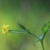 Geltonoji žiognagė – Geum urbanum | Fotografijos autorius : Agnė Našlėnienė | © Macrogamta.lt | Šis tinklapis priklauso bendruomenei kuri domisi makro fotografija ir fotografuoja gyvąjį makro pasaulį.