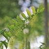 Daugiažiedė baltašaknė – Polygonatum multiflorum | Fotografijos autorius : Agnė Našlėnienė | © Macrogamta.lt | Šis tinklapis priklauso bendruomenei kuri domisi makro fotografija ir fotografuoja gyvąjį makro pasaulį.
