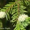 Žaliasis chermesas - Sacchiphantes viridis | Fotografijos autorius : Aleksandras Naryškin | © Macrogamta.lt | Šis tinklapis priklauso bendruomenei kuri domisi makro fotografija ir fotografuoja gyvąjį makro pasaulį.