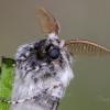Eglinis verpikas | Calliteara abietis | Fotografijos autorius : Darius Baužys | © Macrogamta.lt | Šis tinklapis priklauso bendruomenei kuri domisi makro fotografija ir fotografuoja gyvąjį makro pasaulį.