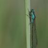 Elegantiškoji strėliukė - Ichnura elegans | Fotografijos autorius : Agnė Našlėnienė | © Macrogamta.lt | Šis tinklapis priklauso bendruomenei kuri domisi makro fotografija ir fotografuoja gyvąjį makro pasaulį.