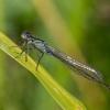 Elegantiškoji strėliukė - Ischnura elegans | Fotografijos autorius : Vaida Paznekaitė | © Macrogamta.lt | Šis tinklapis priklauso bendruomenei kuri domisi makro fotografija ir fotografuoja gyvąjį makro pasaulį.