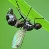 Entomophthora muscae   Fotografijos autorius : Vidas Brazauskas   © Macrogamta.lt   Šis tinklapis priklauso bendruomenei kuri domisi makro fotografija ir fotografuoja gyvąjį makro pasaulį.