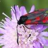 Esparcetinis marguolis - Zygaena loti | Fotografijos autorius : Vaida Paznekaitė | © Macrogamta.lt | Šis tinklapis priklauso bendruomenei kuri domisi makro fotografija ir fotografuoja gyvąjį makro pasaulį.