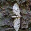 Eglinis sprindytis - Eupithecia tantillaria | Fotografijos autorius : Romas Ferenca | © Macrogamta.lt | Šis tinklapis priklauso bendruomenei kuri domisi makro fotografija ir fotografuoja gyvąjį makro pasaulį.