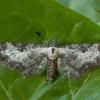 Eupithecia succenturiata - Žilasparnis sprindytis | Fotografijos autorius : Žilvinas Pūtys | © Macrogamta.lt | Šis tinklapis priklauso bendruomenei kuri domisi makro fotografija ir fotografuoja gyvąjį makro pasaulį.