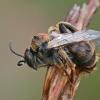 Gauruotakojė bitė - Dasypoda altercator ♂ | Fotografijos autorius : Gintautas Steiblys | © Macrogamta.lt | Šis tinklapis priklauso bendruomenei kuri domisi makro fotografija ir fotografuoja gyvąjį makro pasaulį.