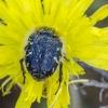 Gauruotasis auksavabalis | Epicometis hirta, sin. Tropinota hirta | Fotografijos autorius : Darius Baužys | © Macrogamta.lt | Šis tinklapis priklauso bendruomenei kuri domisi makro fotografija ir fotografuoja gyvąjį makro pasaulį.