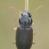 Vikriažygis - Pseudoophonus griseus  | Fotografijos autorius : Gintautas Steiblys | © Macrogamta.lt | Šis tinklapis priklauso bendruomenei kuri domisi makro fotografija ir fotografuoja gyvąjį makro pasaulį.