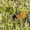 Gelsvamargis satyras - Lasiommata megera, patinas | Fotografijos autorius : Darius Baužys | © Macrogamta.lt | Šis tinklapis priklauso bendruomenei kuri domisi makro fotografija ir fotografuoja gyvąjį makro pasaulį.