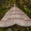 Gelsvasis ankstyvasis sprindžius - Agriopis marginaria   Fotografijos autorius : Žilvinas Pūtys   © Macrogamta.lt   Šis tinklapis priklauso bendruomenei kuri domisi makro fotografija ir fotografuoja gyvąjį makro pasaulį.