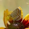 Geltonasis žiedvoris - Misumena vatia | Fotografijos autorius : Vidas Brazauskas | © Macrogamta.lt | Šis tinklapis priklauso bendruomenei kuri domisi makro fotografija ir fotografuoja gyvąjį makro pasaulį.