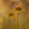 Geltonasis bobramunis - Anthemis tinctoria | Fotografijos autorius : Agnė Našlėnienė | © Macrogamta.lt | Šis tinklapis priklauso bendruomenei kuri domisi makro fotografija ir fotografuoja gyvąjį makro pasaulį.