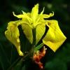 Geltonasis vilkdalgis - Iris pseudacorus | Fotografijos autorius : Gintautas Steiblys | © Macrogamta.lt | Šis tinklapis priklauso bendruomenei kuri domisi makro fotografija ir fotografuoja gyvąjį makro pasaulį.