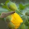 Geltonoji ilgaūsė makštinė kandis - Nematopogon swammerdamella | Fotografijos autorius : Žilvinas Pūtys | © Macrogamta.lt | Šis tinklapis priklauso bendruomenei kuri domisi makro fotografija ir fotografuoja gyvąjį makro pasaulį.