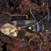 Geltonskydė žolblakė - Orthops kalmii | Fotografijos autorius : Žilvinas Pūtys | © Macrogamta.lt | Šis tinklapis priklauso bendruomenei kuri domisi makro fotografija ir fotografuoja gyvąjį makro pasaulį.