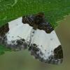 Gervuoginė cidarija - Mesoleuca albicillata | Fotografijos autorius : Gintautas Steiblys | © Macrogamta.lt | Šis tinklapis priklauso bendruomenei kuri domisi makro fotografija ir fotografuoja gyvąjį makro pasaulį.