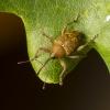 Gilinis vaisiastraublis – Curculio glandium | Fotografijos autorius : Giedrius Markevičius | © Macrogamta.lt | Šis tinklapis priklauso bendruomenei kuri domisi makro fotografija ir fotografuoja gyvąjį makro pasaulį.
