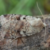Girinis dirvinukas - Diarsia mendica | Fotografijos autorius : Žilvinas Pūtys | © Macrogamta.lt | Šis tinklapis priklauso bendruomenei kuri domisi makro fotografija ir fotografuoja gyvąjį makro pasaulį.