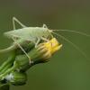 Girinis siūlaūsis - Meconema thalassinum ♀ | Fotografijos autorius : Žilvinas Pūtys | © Macrogamta.lt | Šis tinklapis priklauso bendruomenei kuri domisi makro fotografija ir fotografuoja gyvąjį makro pasaulį.