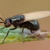 Girinukė - Lauxania cylindricornis | Fotografijos autorius : Žilvinas Pūtys | © Macrogamta.lt | Šis tinklapis priklauso bendruomenei kuri domisi makro fotografija ir fotografuoja gyvąjį makro pasaulį.