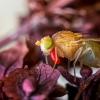 Girinukė - Sapromyza sp. | Fotografijos autorius : Oskaras Venckus | © Macrogamta.lt | Šis tinklapis priklauso bendruomenei kuri domisi makro fotografija ir fotografuoja gyvąjį makro pasaulį.