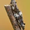Glindinė endotenija - Endothenia marginana | Fotografijos autorius : Arūnas Eismantas | © Macrogamta.lt | Šis tinklapis priklauso bendruomenei kuri domisi makro fotografija ir fotografuoja gyvąjį makro pasaulį.