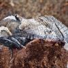 Gluosninis medgręžis - Cossus cossus | Fotografijos autorius : Romas Ferenca | © Macrogamta.lt | Šis tinklapis priklauso bendruomenei kuri domisi makro fotografija ir fotografuoja gyvąjį makro pasaulį.