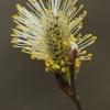 Gluosnis - Salix sp. | Fotografijos autorius : Gintautas Steiblys | © Macrogamta.lt | Šis tinklapis priklauso bendruomenei kuri domisi makro fotografija ir fotografuoja gyvąjį makro pasaulį.