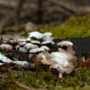 Ąžuolinis skiautenėlis - Panellus stipticus | Fotografijos autorius : Vidas Brazauskas | © Macrogamta.lt | Šis tinklapis priklauso bendruomenei kuri domisi makro fotografija ir fotografuoja gyvąjį makro pasaulį.