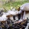 Šilkiškasis baltikas - Tricholoma columbetta | Fotografijos autorius : Kazimieras Martinaitis | © Macrogamta.lt | Šis tinklapis priklauso bendruomenei kuri domisi makro fotografija ir fotografuoja gyvąjį makro pasaulį.