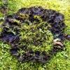 Šunvaistė meškapėdė - Peltigera canina | Fotografijos autorius : Romas Ferenca | © Macrogamta.lt | Šis tinklapis priklauso bendruomenei kuri domisi makro fotografija ir fotografuoja gyvąjį makro pasaulį.
