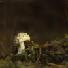 Gelsvoji musmirė - Amanita citrina | Fotografijos autorius : Vidas Brazauskas | © Macrogamta.lt | Šis tinklapis priklauso bendruomenei kuri domisi makro fotografija ir fotografuoja gyvąjį makro pasaulį.