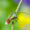 Gudobelinė skydblakė - Acanthosoma haemorrhoidale | Fotografijos autorius : Darius Baužys | © Macrogamta.lt | Šis tinklapis priklauso bendruomenei kuri domisi makro fotografija ir fotografuoja gyvąjį makro pasaulį.
